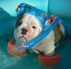 Bulldog puppy going for a swim.