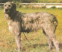 Irish Wolfhound pets