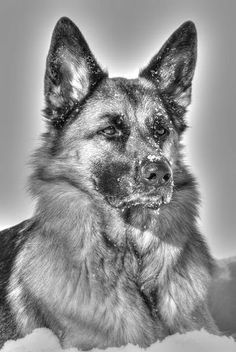 The German Shepherd Lovers Community - Community - Google+