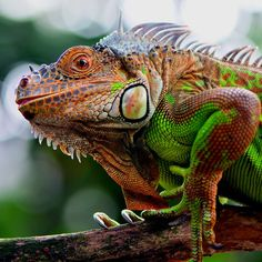 Red Iguana Photo by Ajar Setiadi — National Geographic Your Shot