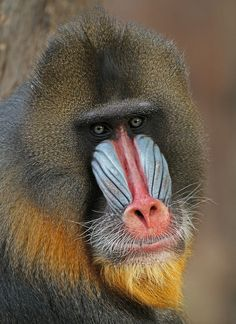 Mandril - Beautiful Colors Unique Animals, Animals Beautiful, Animals And Pets, Cute Animals, Animals Photos, Primates, Mammals, Reptiles, Mandrill Monkey