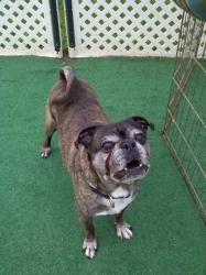 Buddah is an adoptable Boston Terrier Dog in La Porte, IN. Name: Buddah Sex: Male Color: Brindle Age: 11 Years I.D. Number: OH 526 Approx Weight: 30 Pounds Good w/dogs: Yes Good w/cats: Yes Crate Trai...