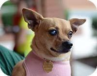 Chantilly, VA - Chihuahua/Italian Greyhound Mix. Meet Tuff, a dog for adoption. http://www.adoptapet.com/pet/11270512-chantilly-virginia-chihuahua-mix