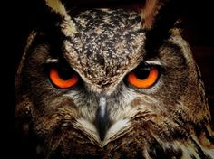 owl bird eyes