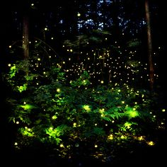 fireflies in the woods behind my house
