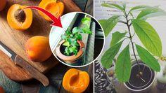 Gillar du att odla, men saknar trädgård? Inga problem. Att plantera sparade frön eller kärnor hemma i fönstret är en stor trend just nu, och det är både smart, lätt och billigt. Här tipsar vi, med inspiration från Land , om fem vackra träd som du enkelt odlar själv!
