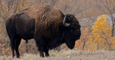 2013 - Marketing is the weak link for bison meat. Bison Meat, Buffalo, Hold On, Beast, Marketing, Link, Animals, Animales, Animaux