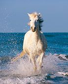 HOR 01 JZ0015 01 White Camargue Horse Running In Surf On Beach Provence France