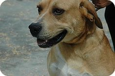 Pictures of Rusty a Rhodesian Ridgeback Mix for adoption in Crump, TN who needs a loving home.