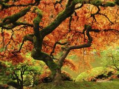 Japanese Maple in Full Fall Color, Portland Japanese Garden, Portland, Oregon, USA Papier Photo