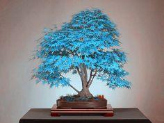 20 bonsai azul árbol de arce semillas semillas de árboles Bonsái. rare azul cielo arce japonés semillas de plantas para el hogar jardín Balcón Flor(China (Mainland))