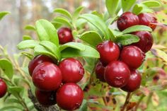 The New Superfruit: Lingonberry  Did you know that VITAFORCE contains organic wild lingonberries? What are lingonberries? Lingonberries are small, red, edible berries that grow on a perennial, woody, evergreen shrub, and are related to both blueberries and cranberries.  Did you have your VITAFORCE today? GO PLANT STRONG!