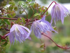 Clematis alpina Blue Dancer