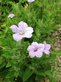 Wild perennial petunia