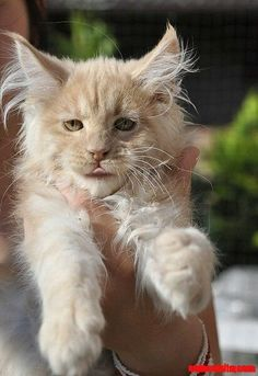 Maine Coon cute kitten - http://cutecatshq.com/cats/maine-coon-cute-kitten-2/