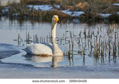 Stock Photo: Whooper swan (Cygnus Cygnus) swimming in icy lake in the spring in Finland.