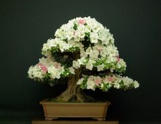 In the world of bonsai, there are few things more beautiful than an Azalea bonsai in full bloom. Description from travelbieber.com. I searched for this on bing.com/images