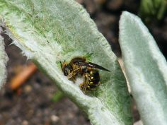 "Wool Carder Bee collecting ""wool"" for its nest on Stachys (Lambs Ear)"