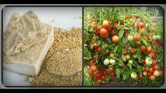 Дрожжи для томатов