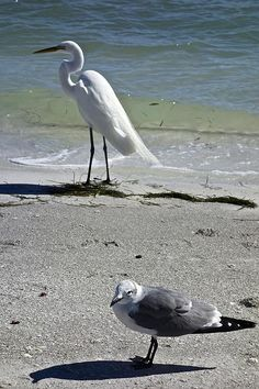 Egret and seagull