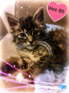 """Check out my new foster kitty """"Wee Bit"""" the tiny kitten with the big heart. He is light as a feather and very fluffy.  https://www.facebook.com/photo.php?fbid=597343596951744=pb.124159477603494.-2207520000.1370104937.=3=https%3A%2F%2Ffbcdn-sphotos-c-a.akamaihd.net%2Fhphotos-ak-ash3%2F967012_597343596951744_887706885_o.jpg=https%3A%2F%2Ffbcdn-sphotos-c-a.akamaihd.net%2Fhphotos-ak-prn1%2F936957_597343596951744_887706885_n.jpg=1500%2C2000"""