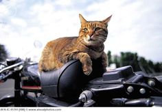 Cat sitting on motorcycle seat