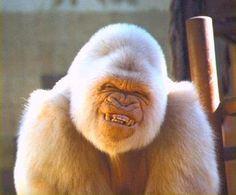 Rare albino gorilla