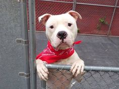 SAFE!   ~TUES  7/3/14 Manhattan Center MAXIMUS  A1003890  Male white am pit ter mix 1 YR 9 MTHS old STRAY 6/20/14  Volunteer says: He came in all beat up, calluses, dirty  quite skinny. Likely housetrained, takes treats gently, A friendly guy, wags his tail at staff, hoping to make  friends. He had soft body language toward the helper dog and seems interested in other dogs but NO aggressive behavior. This poor boy deserves a break, a loving forever home! PLEASE HELP!