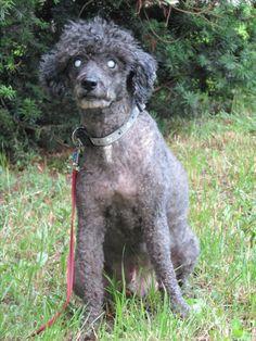 blind dog, poodle, my poodle