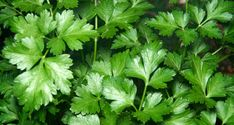 looking down on the vibrant green leaves of the flat italian parsley plant. Parsley Plant, C'est Bon, Green Leaves, Photo Editing, Food And Drink, Stock Photos, Nature, Vibrant, Flat