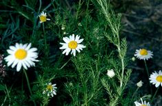 How To Urban Garden How to grow Camomile / RHS Gardening Chamomile Lawn, Chamomile Growing, Growing Herbs, Growing Flowers, Planting Flowers, Sun Flowers, Flowering Plants, Forest Garden, Dry Garden