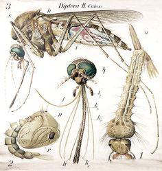 La dieta anti-zanzar