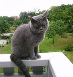 Mimi, Britisch Kurzhaar #Katze #cat #widPet