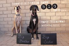 Pregnancy announcement with dogs (Great Danes)