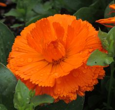Love Flowers, Beautiful Flowers, Calendula, Jane Austen, Natural Beauty, Nature, Color, Natural Medicine, Herbs