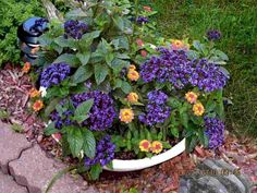 ATTENTION! It is called heliotrope and is highly toxic, causes total liver destruction. Do not let your pets or children eat this plant.