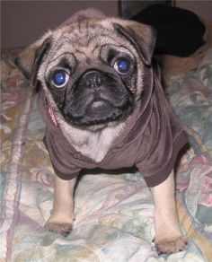 Pug - wikipedia, the free encyclopedia, The pug is a breed of dog with a wrinkly, short-muzzled face and curled tail.