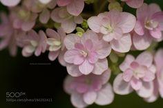 Soft pink Hyderangea by JoMami. @go4fotos