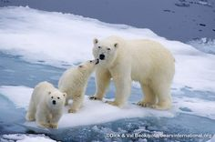 Polar bear mother and two cubs. with Michele Chartier, William Tully, Becci Jungle and 42 others.