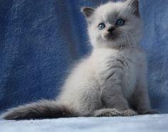 British Longhair blue point kitten
