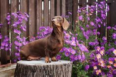 These Cute Dachshund Pictures Are The Cats Meow