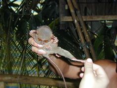 Hi-Ya! The elongated tarsus bones of a tarsier are handy for jumping around in trees.