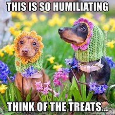 Funny Dachshund, Dachshund Love, Funny Dogs, Dachshund Quotes, Dachshunds, Doggies, Funny Animal Videos, Funny Animal Pictures, Dog Pictures