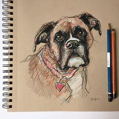 Boxer sketch.  Pencil, colored pencil and ink  Commission inquiries: julie.pfirsch@gmail.com