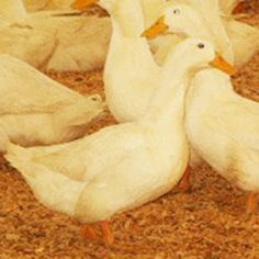 Jumbo White Pekin Duckling