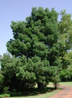 Podocarpus falcatus          Outeniqua Yellowwood       Outeniekwageelhout         20 - 60 meters        SA no 16