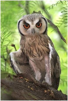 Southern white-faced Scopes Owl (S Africa) & lbs.) lives in savanna & dry woodland. It eats insects & small mammals; lays eggs in old nests of other birds. Beautiful Owl, Animals Beautiful, Cute Animals, Owl Photos, Owl Pictures, Owl Bird, Pet Birds, Tier Fotos, Cute Owl