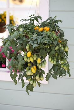 Tomato 'Peardrops Yellow'  hanging basket by the kitchen door