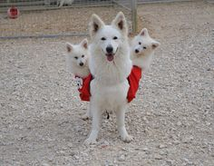 White Swiss Shepherd … I want them! Pet Dogs, Dogs And Puppies, White Swiss Shepherd, Malinois Dog, Schaefer, Dog Id, German Shepherd Dogs, German Shepherds, White Dogs