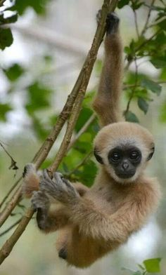 Primate - Lar Gibbon - title Just hangin' around! Primates, Mammals, Cute Baby Animals, Animals And Pets, Funny Animals, Wild Animals, Animal Pictures, Cute Pictures, Cute Monkey